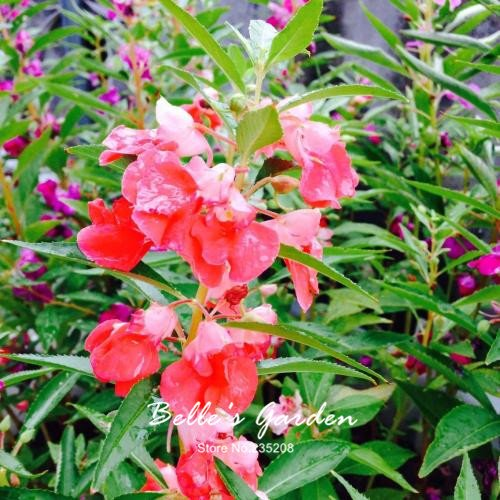 100 pcs / sac de graines de Balsamine, belle plante de fleurs Accueil Jardin Fleurs en pot semences intérieur Graines Bonsai 6