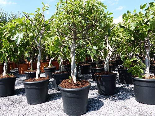 Feigenbaum - hell UND dunkel - in 1 Topf, Obstbaum, winterhart, Ficus Carica, Feige