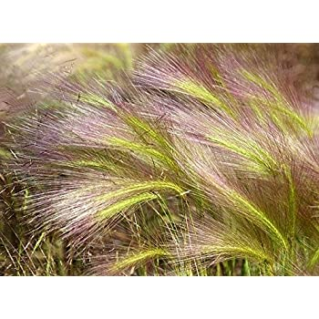 National Gardens Foxtail Grass Aquatic Plant Seeds (Pack of 10)
