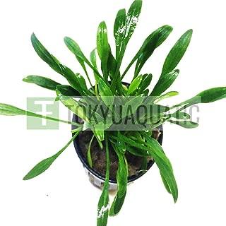 IM VERA New Cryptocoryne Parva Pot Live Aquarium Plant Crypt Green Tropica Decoration Carpet