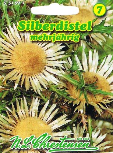 Silberdistel, mehrjährig , Staude, Trockenblume 'Carlina acaulis' Distel