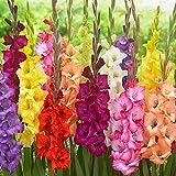 Bulbi da Fiore ALTA QUALITA' per fioritura PRIMAVERILE - ESTIVA - AUTUNNALE (10, Gladioli MIX BUTTERFLY)