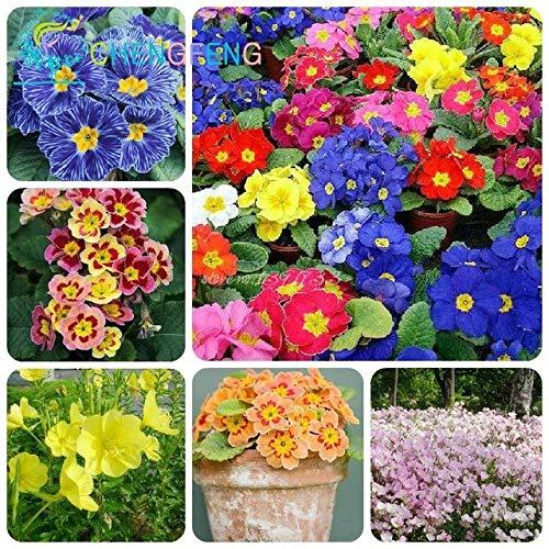 Green Seeds Co. 200 teile/beutel 9 Arten Seltene Blume Zebra Nachtkerzen pflanzen Seltene bonsai Garten Große Blume Uhr Bonsai Blumenzwiebeln Pl: Blau