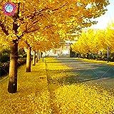 Otoño las hojas amarillas 5 pcs semillas de Ginkgo gingko biloba Gingo tuercas Bonsái cultivadas a partir de semillas de planta de maceta de jardín de casa
