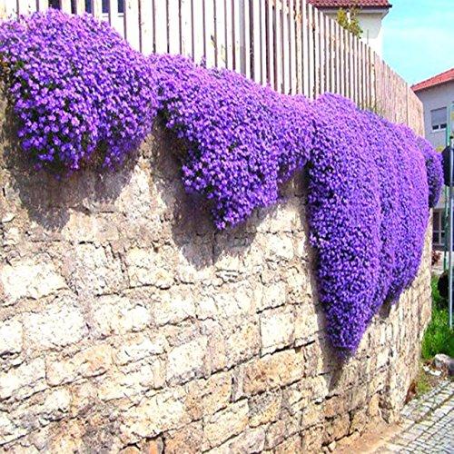 Green Seeds Co. Rock Cress 100 piezas/lote Aubrieta Cascade plantas de flores de color púrpura Superb perenne cubierta de suelo para el jardín de la casa balcón Windowsill: verde