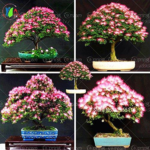 10 pièces bonsaï Albizia Graines de fleurs appelées Mimosa Arbre soie, semences pour les plantes en pot de fleurs de plantes ornementales