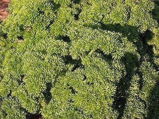 Perejil musgo rizado semillas - Petroselinum crispum - 1200