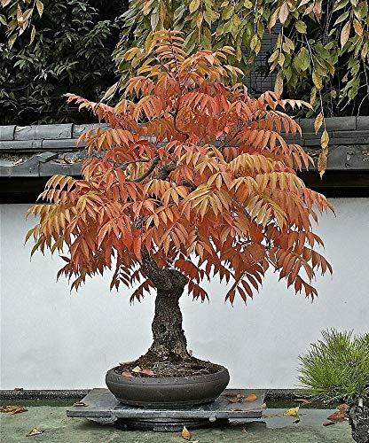 Essigbaum 20 Samen - Rhus typhina - Im Freien oder Bonsai
