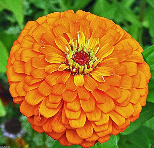 Zinnia elegans orange King'-papillons et les colibris amour les-300 graines!