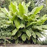 Banana Plants 'Basjoo' Includes Four (4) Plants Cold Hardy