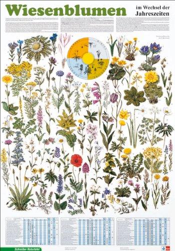 Schreiber Naturtafeln, Wiesenblumen im Wechsel der Jahreszeiten: Poster (Format: 70 x 100 cm) Klasse 1-13