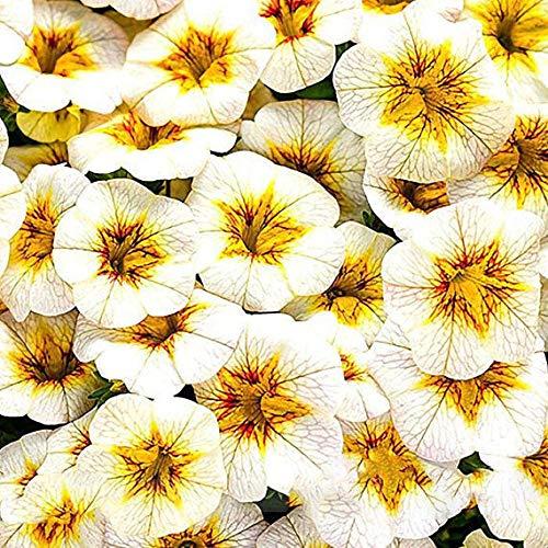 Portal Cool Seltene Petunia Super-Bell Calibrachoa Jahres Blume 100 Samen Große Big Blooming