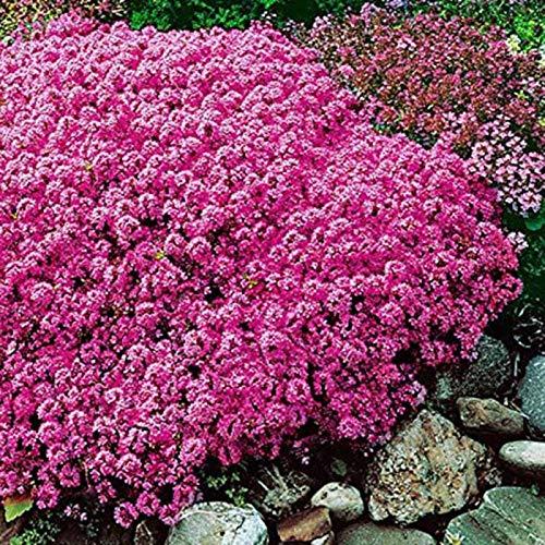 yanbirdfx Blumen Samen für Garten und Balkon-300 Stück Garten Bodendecker Teppich Staudenblume Pflanze Dekor Rock Cress Seeds - Pink Cress Seeds