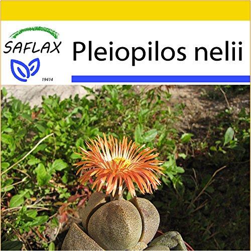 SAFLAX - Anzucht Set - Sukkulenten - Lebender Granit - 40 Samen - Mit Mini-Gewächshaus, Anzuchtsubstrat und 2 Töpfen - Pleiospilos nelii