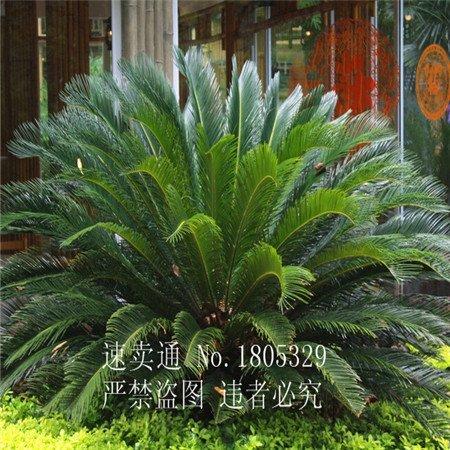 nouvelles 50pcs graines fraîches Cycas rares Graines Chine Arbre Quatre saison d'expédition Green Tree gratuit