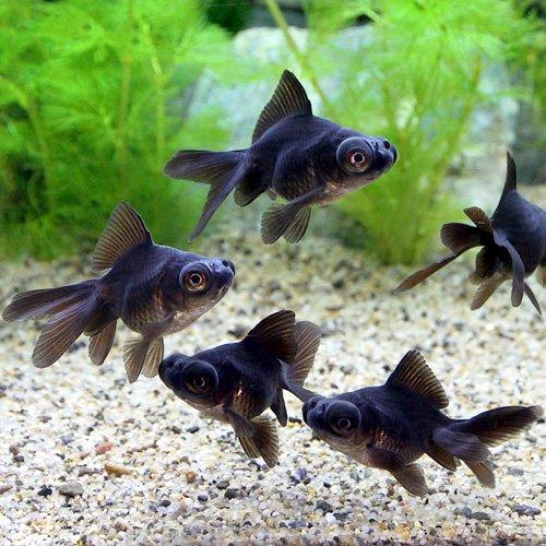 (国産金魚)出目金(デメキン)黒(1匹) 本州・四国限定[生体]