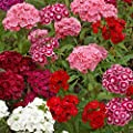 Outsidepride Dianthus - Sweet William Mix