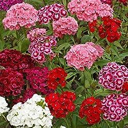 Dianthus rosa, weiße und rote mehrjährige Blüten