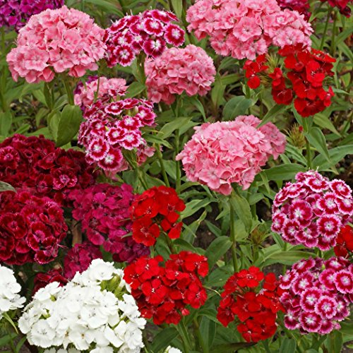 Outsidepride Dianthus Sweet William Flower Seed Plant Mix - 5000 Seeds