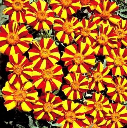 Semillas de Marigold Mr. Majestic - Tagetes patula nana