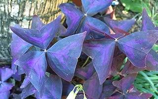 1 Starter Plant of Oxalis Regnellii Triangularis Francis Purple Shamrock Live Plant