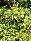 Korallen Baumfarn -Cyathea gleichenioides- 20 Samen/Sporen