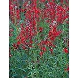 Blumixx Stauden Lobelia cardinalis - Kardinals-Lobelie, im 0,5 Liter...