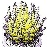 Pets DeliteSemillas de aloe vera amarillas: eroute66 100 pzas Semillas de aloe vera azul cielo Bonsai Balcón Plantas de jardín Decoración