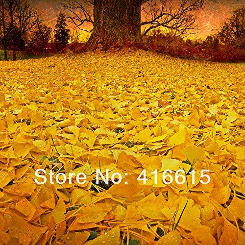 30 Graines Ginkgo, feuilles changent de couleur, magiques Plantes à feuillage antiques, jaune d'or en pot, Ginkgo Biloba Graines + cadeau Mysterious