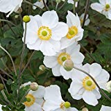 Anemone hybrida Honorine Jobert Japanese Anemone white flowers loved by bees 9cm pot FREE DELIVERY