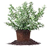 Pixies Gardens Brightwell Rabbiteye Blueberry Shrub Live Fruit Plant for Planting - One of The Most Reliable Blueberries.Good for Baking and Fresh Eating (1 Gallon)
