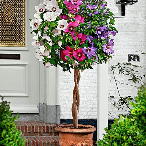 Hibiscus syriacus | 3er Hibiskus Pflanze | Blüte lila, rosa, weiß | Sträucher Winterhart Blühend | Höhe 60 cm | Topf-Ø 9 cm