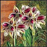 Amaryllis Zwiebel Wachs,Amaryllis Birne,Mach Dich Zuerst Glücklich,Es Lohnt Sich,Frische, Schöne Blumen,Blühend, Irgendwie Nett, Eingetopft-Weiß Violett,1 Zwiebel