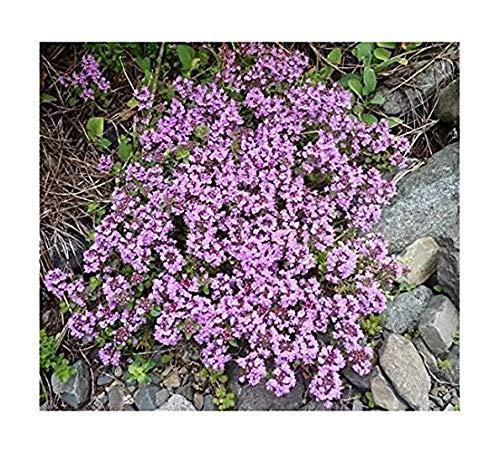 Sand-Thymian - Thymus serpyllum - 4000 Samen