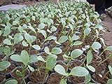 SwansGreen más bajo precio !!! Semillas de frutas ornamentales, semillas de calabaza son no comestible, amarilla preciosa Hermosa kumquat melón, alrededor del 50 Partículas