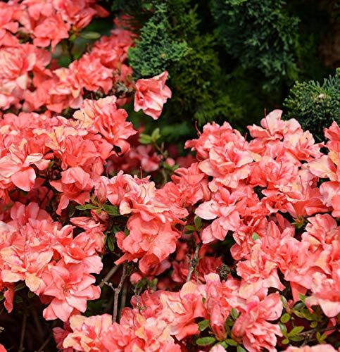 Japanische Azalee Cherie 20-25cm - Rhododendron obtusum - Zwerg Alpenrose