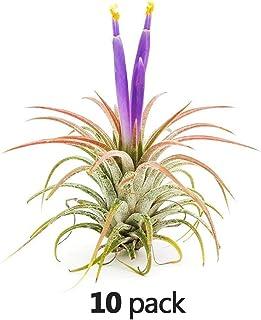 The Drunken Gnome AIR Plants– IONANTHA Medium – 10 Pack - air Purifying Flowering Tillandsia for Terrarium, Fairy Garden Starter kit, Home Office, Indoor Outdoor, Corporate Gift (10 Medium)