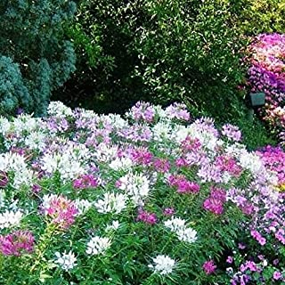 David`s Garden Seeds Flower Cleome Mix Colors 6643 (Multi) 200 Non-GMO, Open Pollinated Seeds