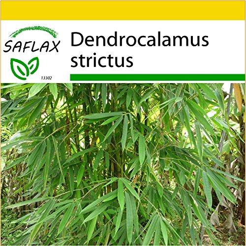 SAFLAX - Set per la coltivazione - Bambù di Calcutta - 50 semi - Dendrocalamus strictus