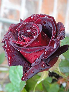 Black Baccara' Rose - 5 semigreen Steem unrooted cuttings- Rare and Unusual