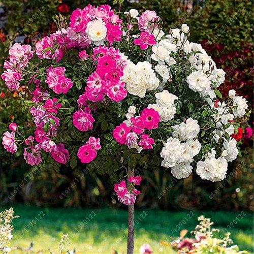 100pcs / bag Rosenbaum, rosafarbene Samen, Bonsai-Baum Blumensamen, Rosenbaum Pflanze Balkon & Yard für Hausgarten vergossen 13