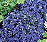 Aimado Seeds Garden-50 Pcs Lobélia Emperor William graines fleurs à semer Couvre-sol exterieur tapis de graines fleurs Pour Jardin