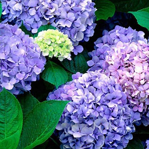 Charm4you Semillas de Plantas Verdes,Semillas de Flor de Hortensia jardín jardín-cápsulas M20,Perenne Resistente Semillas