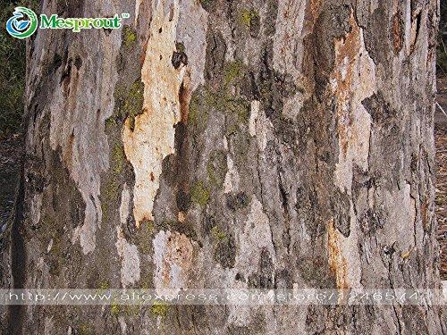 50/lot Norwegen Fichte–Picea abies Samen Bonsai Pflanze Evergreen DIY Home Garden