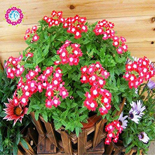 New Lantana Camara en pot Graines 50Pcs / sac Fleurs rares pour le jardin Plantation d'Fleurs Bonsai Semillas de Flores Livraison gratuite 4