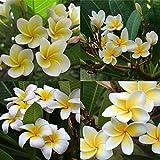 Dyyicun12-100 unidades por bolsa de Plumeria Rubra Frangipani hawaiana Lei flores semillas de jardín