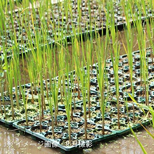 紫葉園(しばえん)『ヒメガマ10.5cmポット苗』