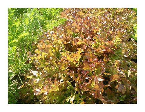 Les Graines Bocquet - Graines De Laitue À Couper Red Salad Bowl Rouge - Graines Potagères À Semer - Sachet De 4Grammes