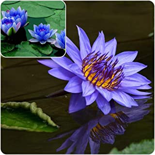 sapphire dwarf lotus