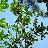 グミ:ナツグミ2.5~4号ポット[一才グミ・夏茱萸 夏に結実する紅色の小果][苗木]*